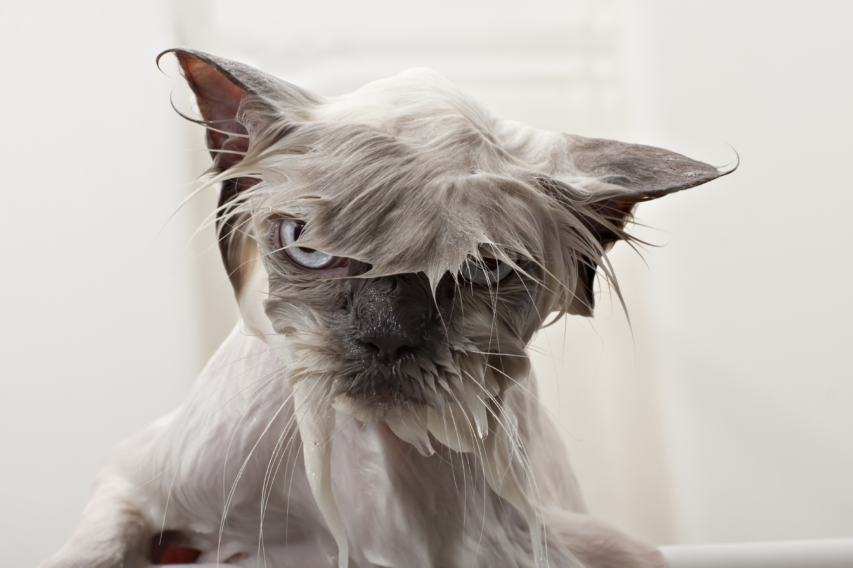 A wet cat looks angry.