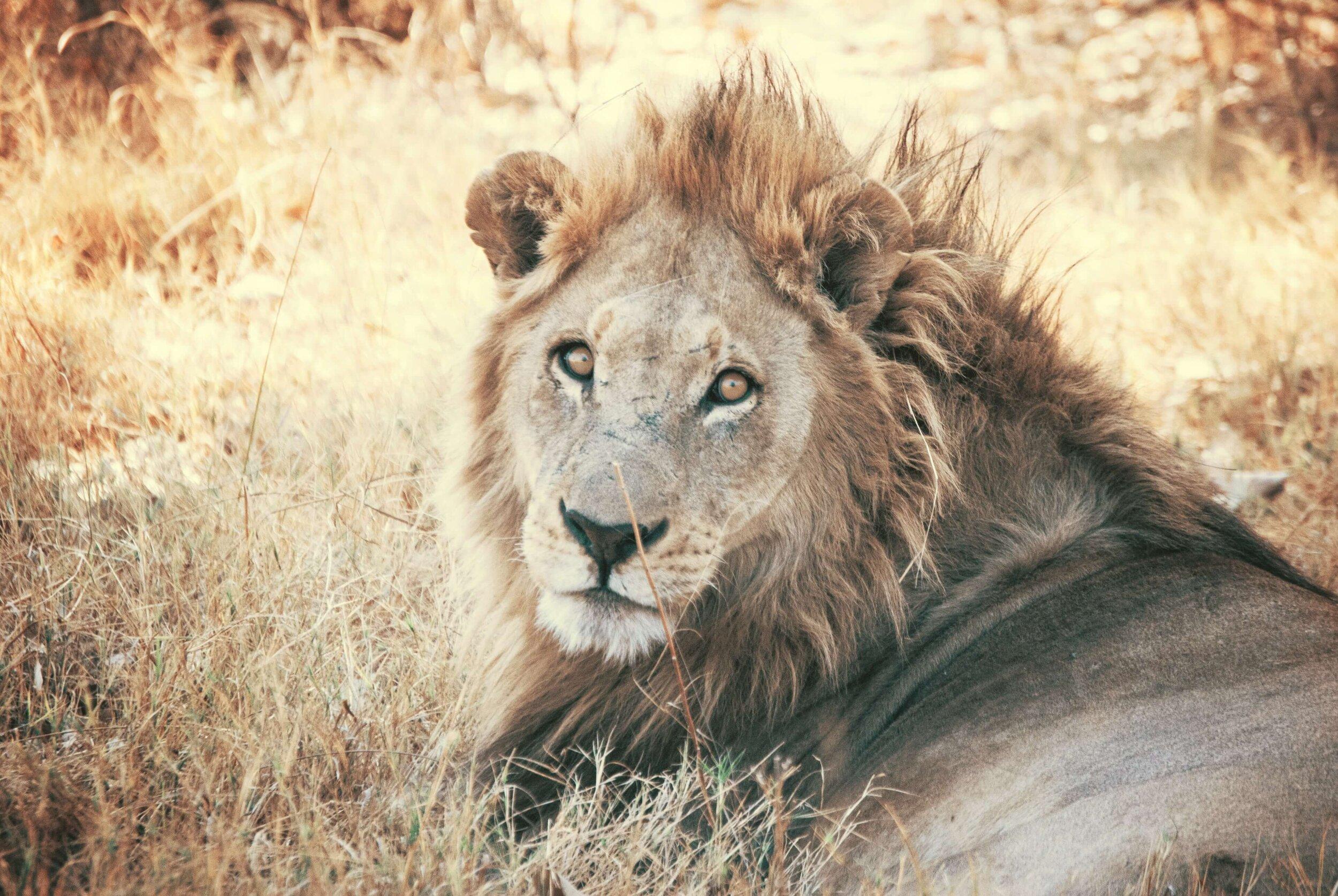 A male lion.